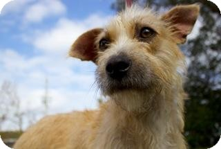 Terrier (Unknown Type, Medium) Mix Dog for Sale in Gainesville, Florida - Tracy