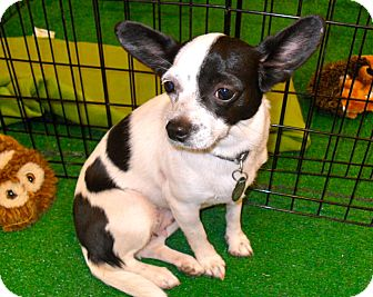 Chihuahua/Papillon Mix Dog for Sale in Phoenix, Arizona - Tia