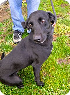 Labrador Retriever/Whippet Mix Dog for Sale in Brookville, Indiana - Taffy