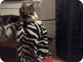American Shorthair Kitten for adoption in Glen cove, New York - swirly