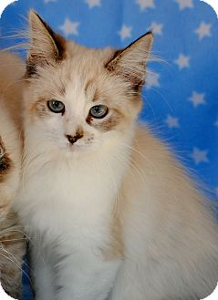 Siamese Kitten for Sale in Palmdale, California - Pippin