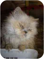 Himalayan Cat for adoption in Strathmore, Alberta - Shell-Swa
