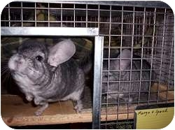 Chinchilla for Sale in Lubbock, Texas - Mango & Spock