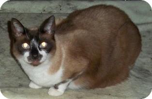 Siamese Cat for adoption in Sacramento, California - Lacy