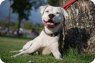 American Staffordshire Terrier/Bulldog Mix Dog for adption in Altadena, California - Skyler
