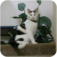 American Shorthair Cat for adoption in Brush Prairie, Washington - Icicle