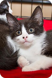 Domestic Shorthair Kitten for Sale in Irvine, California - Eddie