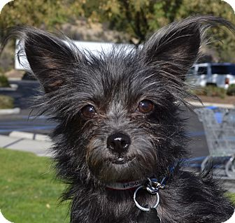 Terrier (Unknown Type, Small) Mix Dog for Sale in Simi Valley, California - Jingle