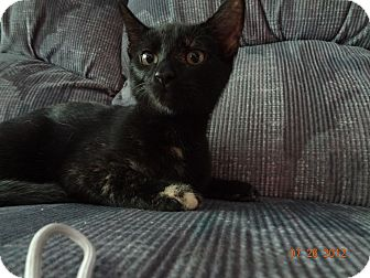 Domestic Shorthair Kitten for adoption in Saint Albans, West Virginia - McKenzie