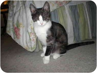 Domestic Shorthair Cat for adoption in Union Lake, Michigan - Spike>^.,.^< $35 adoption