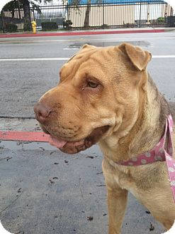 Shar Pei Dog for Sale in Mira Loma, California - Nicole