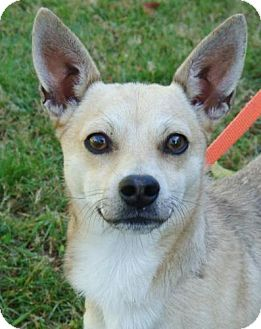Chihuahua Mix Dog for Sale in Red Bluff, California - Nino