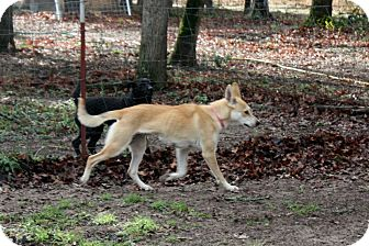Carolina Dog Mix Dog for Sale in Flower Mound, Texas - Maya