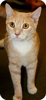 Domestic Shorthair Cat for adoption in Phoenix, Arizona - Sunburst