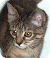 Domestic Shorthair Kitten for Sale in Kansas City, Missouri - Danika