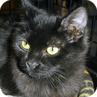 Domestic Mediumhair Kitten for adoption in Alameda, California - TINKERBELL