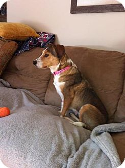 Beagle Mix Dog for adption in Windham, New Hampshire - Maizey-I&#39;m in New England!