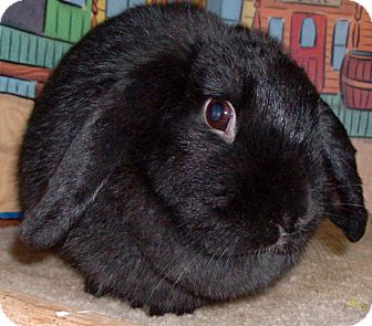 Lop, Holland Mix for Sale in Foster, Rhode Island - Poe