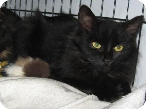Domestic Longhair Cat for adoption in Brainardsville, New York - GINGER