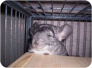 Chinchilla for Sale in Avondale, Louisiana - Chi Chi