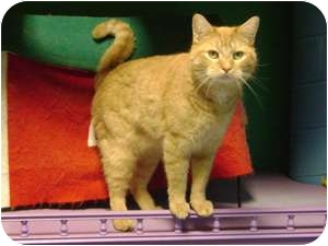Domestic Shorthair Cat for adoption in Topeka, Kansas - Piffle