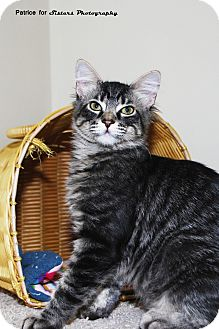 Domestic Shorthair Kitten for Sale in Lincoln, Nebraska - Ash