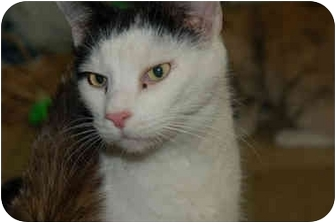 Domestic Mediumhair Cat for adoption in Grafton, West Virginia - Dallas