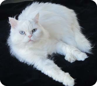 Persian Cat for Sale in Merrifield, Virginia - Xena