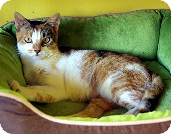Calico Cat for Sale in Mobile, Alabama - Brittany