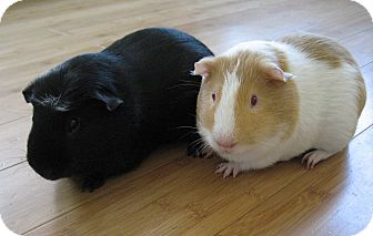 Guinea Pig for Sale in Costa Mesa, California - Bingo and Custer