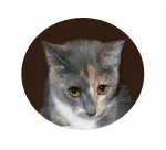 Domestic Shorthair Cat for Sale in Colorado Springs, Colorado - Christy