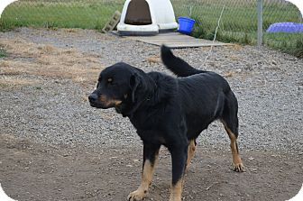 Rottweiler Mix Dog for Sale in New cumberland, West Virginia - Abrazo
