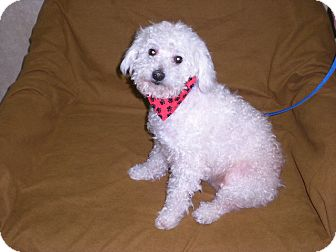 Poodle (Miniature) Dog for Sale in New Castle, Pennsylvania -