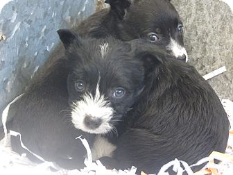 Terrier (Unknown Type, Small)/Schnauzer (Miniature) Mix Puppy for Sale in Hamilton, Montana - Pup 2