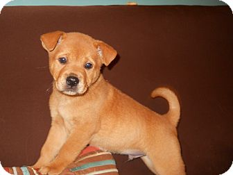 Labrador Retriever/Chow Chow Mix Puppy for Sale in Groton, Massachusetts - Pichard