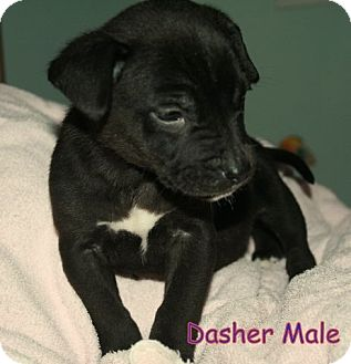 Rottweiler/Collie Mix Puppy for Sale in Danbury, Connecticut - Dasher ADOPTION PENDING