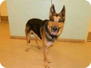 German Shepherd Dog Dog for Sale in North Wales, Pennsylvania - Adolph