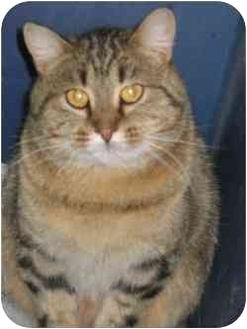 Domestic Shorthair Cat for adoption in Strathmore, Alberta - Chewy