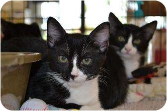 Domestic Shorthair Cat for adoption in Chino, California - Kitten 2