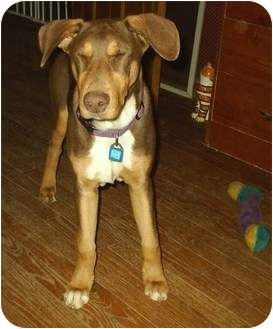 Doberman Pinscher/Coonhound Mix Dog for Sale in cedar grove, Indiana - Lenny