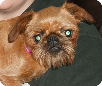 Brussels Griffon Dog for Sale in Bartlett, Illinois - Poppi