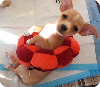 Chihuahua Mix Puppy for Sale in San Diego, California - Mary