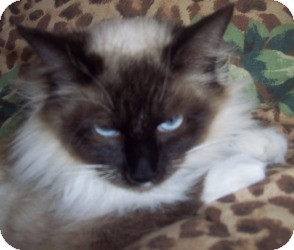 Ragdoll Cat for Sale in Ennis, Texas - Tessa