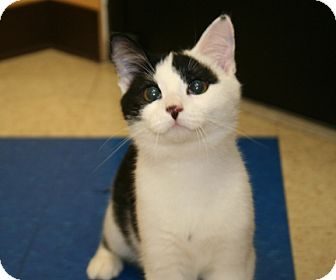 American Shorthair Cat for Sale in Foster, Rhode Island - Dancer