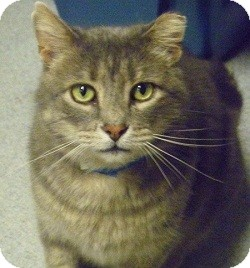 Domestic Shorthair Cat for adoption in Hamburg, New York - German