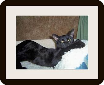 Domestic Shorthair Cat for adoption in Medford, Wisconsin - MYSTIC