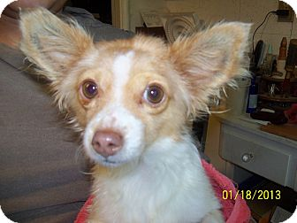 Chihuahua Mix Dog for Sale in San Diego, California - Dixie URGENT