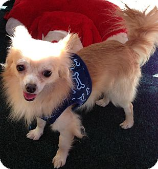 Chihuahua Mix Dog for Sale in San Diego, California - Maxwell