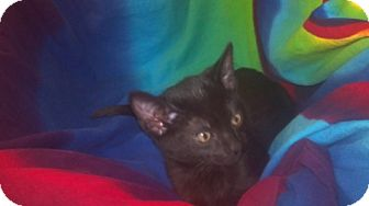 Domestic Mediumhair Kitten for Sale in Scottsdale, Arizona - Fufu- courtesy post