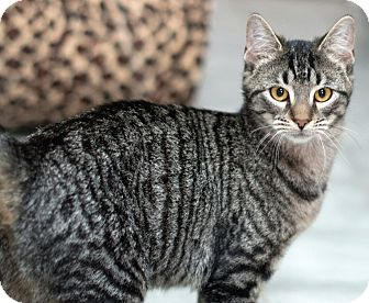 Domestic Shorthair Cat for adoption in New Haven, Connecticut - Nan